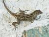DA Iguania Iguanidae Dactyloidae<br /> Anolis homolechis homolechis<br /> Cuban White-Fanned Anole<br /> Havana, Cuba<br /> Specimen #1<br /> 2015