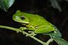 BC Hylidae Hylinae<br /> Hyla cinerea<br /> Green Treefrog<br /> Everglades area