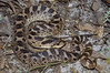 EEF Colubroidae Dipsadidae<br /> Heterodon simus<br /> Southern Hognose Snake<br /> Madison County