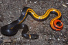 EEF Colubroidae Dipsadidae<br /> Diadophis punctatus punctatus<br /> Southern Ring-necked Snake<br /> S Florida