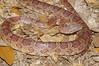 EEB Colubroidae Colubridae<br /> Pantherophis guttatus<br /> Corn Snake<br /> Suwannee County