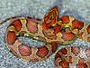 EEB Colubroidae Colubridae<br /> Pantherophis guttatus<br /> Corn Snake<br /> Miami-Dade County, Everglades area<br /> 2016