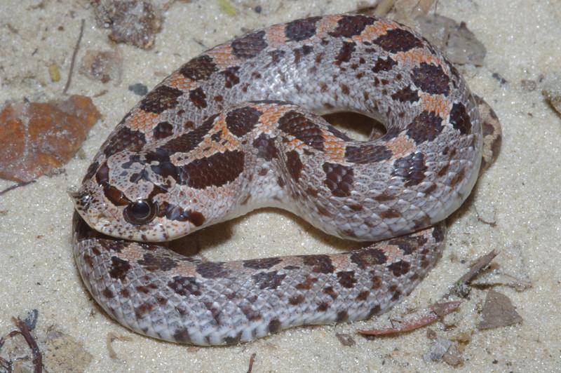 EEF Colubroidae Dipsadidae<br /> Heterodon simus<br /> Southern Hognose Snake<br /> Suwannee County