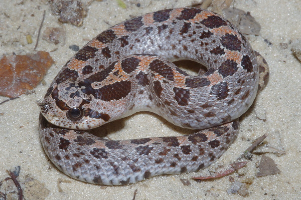 EEF Colubroidae Dipsadidae Heterodon simus Southern Hognose Snake Suwannee County