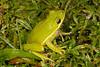 BC Hylidae Hylinae<br /> Hyla cinerea<br /> Green Treefrog<br /> Okeechobee County<br /> 2013