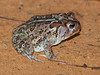 BA Bufonidae<br /> Anaxyrus terrestris<br /> Southern Toad<br /> Liberty County<br /> 2016