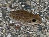 BC Hylidae Hylinae<br /> Hyla gratiosa<br /> Barking Treefrog<br /> Liberty County<br /> 2016