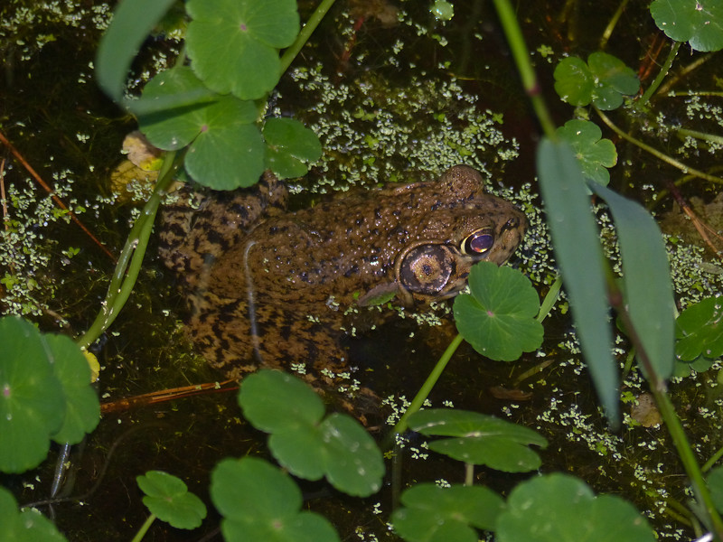 BD Ranidae<br /> Rana heckscheri<br /> River Frog<br /> Glynn County<br /> 2016