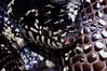EEB Colubroidae Colubridae<br /> Lampropeltis getula getula<br /> Eastern Kingsnake<br /> Brunswick County