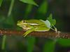 BC Hylidae Hylinae<br /> Hyla cinerea<br /> Green Treefrog<br /> Glynn County<br /> 2016