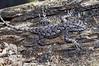 DA Iguania Iguanidae Phrynosomatidae<br /> Sceloporus undulatus undulatus<br /> Southern Fence Lizard<br /> Coffee County