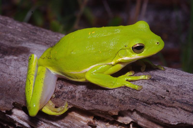 BC Hylidae Hylinae<br /> Hyla cinerea<br /> Green Treefrog<br /> Echols County