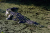 C Alligatoridae<br /> Alligator mississippiensis<br /> American Alligator<br /> Brunswick County