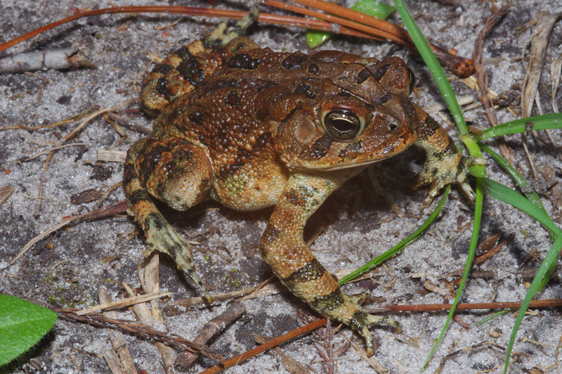 BA Bufonidae<br /> Anaxyrus terrestris<br /> Southern Toad<br /> Echols County