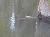 C Alligatoridae<br /> Alligator mississippiensis<br /> American Alligator<br /> Burke County <br /> 2016