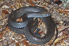 EEB Colubroidae Colubridae<br /> Coluber constrictor constrictor<br /> Northern Black Racer<br /> Putnam County