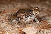 BD Ranidae<br /> Rana clamitans<br /> Green Frog<br /> Glynn County<br /> 2016