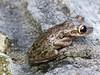 BC Hylidae Hylinae<br /> Osteopilus septentrionalis<br /> Cuban Treefrog<br /> Grand Cayman<br /> 2016
