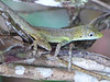 DA Iguania Iguanidae Dactyloidae<br /> Anolis conspersus<br /> Caymans Blue-fanned Anole<br /> 2016