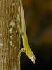 DA Iguania Iguanidae Dactyloidae<br /> Anolis richardi<br /> Grenada Tree Anole<br /> 2014