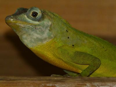 DA Iguania Iguanidae Dactyloidae Anolis richardi Grenada Tree Anole 2014