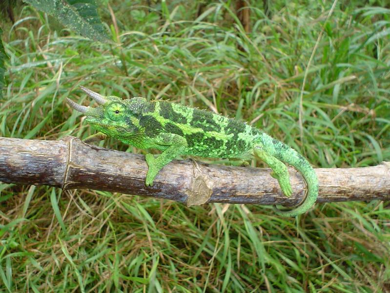 DF Iguania Chamaeleonidae<br /> Trioceros jacksonii<br /> Jackson's Chamaeleon<br /> Maui, Hawaii<br /> Non-native