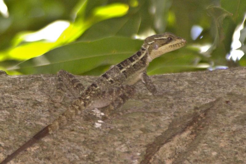 DA Iguania Iguanidae Corytophanidae <br /> Basiliscus vittatus<br /> Brown Basilisk<br /> Roatan <br /> 2006