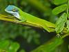 DA Iguania Iguanidae Dactyloidae <br /> Anolis allisoni<br /> Allison's Green Anole<br /> Roatan<br /> 2016