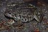 BA Bufonidae<br /> Anaxyrus boreas boreas<br /> Boreal Toad<br /> Fremont County<br /> 2011