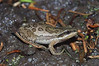 BC Hylidae<br /> Pseudacris maculata<br /> Boreal Chorus Frog<br /> Fremont County<br /> 2011