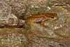 AB Plethodontidae Hemidactyliinae<br /> Eurycea longicauda longicauda <br /> Eastern Long Tailed Salamander<br /> Union County<br /> 2016