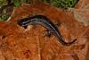 AB Ambystomatidae<br /> Ambystoma talpoideum<br /> Mole Salamander<br /> Jackson County<br /> 2016