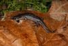AB Ambystomatidae<br /> Ambystoma talpoideum<br /> Mole Salamander<br /> Jckson County<br /> 2016