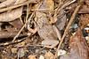 BG Eleutherodactylidae Eleutherodactylinae<br /> Eleutherodactylus gossei<br /> Jamaican Forest Frog<br /> Ocho Rios<br /> 2015