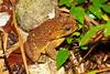 BA Bufonidae<br /> Rhinella horribilis<br /> Giant Toad<br /> Ocho Rios<br /> 2015