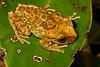 BC Hylidae Hylinae<br /> Osteopilus ocellatus<br /> Jamaican Laughing Treefrog<br /> Ocho Rios<br /> 2015