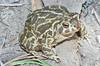 BA Bufonidae<br /> Anaxyrus cognatus<br /> Great Plains Toad<br /> Hamilton County<br /> 2011