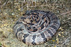 EL Colubroidea Viperidae Crotalinae<br /> Crotalus horridus<br /> Timber Rattlesnake<br /> Johnson County