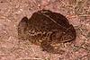 BA Bufonidae<br /> Anaxyrus woodhousii woodhousii<br /> Woodhouse's Toad<br /> Hamilton County