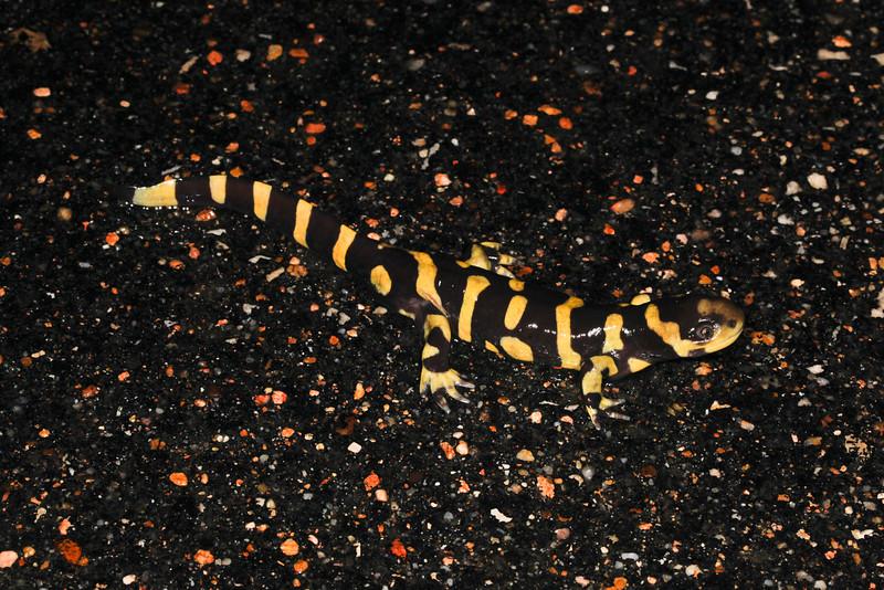AB Ambystomatidae<br /> Ambystoma mavortium <br /> Barred Tiger Salamander<br /> Lincoln County<br /> 2015