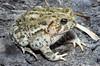 BA Bufonidae<br /> Anaxyrus woodhousii woodhousii<br /> Woodhouse's Toad<br /> Hamilton County<br /> 2011
