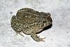 BA Bufonidae<br /> Anaxyrus woodhousii woodhousii<br /> Woodhouse's Toad<br /> Ellis County