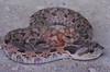 EEF Colubroidea Dipsadidae<br /> Heterodon platirhinos<br /> Eastern Hognose Snake<br /> Hamilton County<br /> 2011 speciman #2