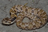 EEF Colubroidea Dipsadidae<br /> Heterodon platirhinos<br /> Eastern Hognose Snake<br /> Hamilton County<br /> 2010 speciman #3