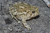 BA Bufonidae<br /> Anaxyrus woodhousii woodhousii<br /> Woodhouse's Toad<br /> Hamilton County<br /> 2011
