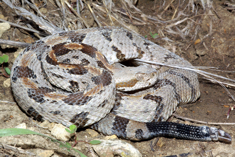 EL Colubroidea Viperidae Crotalinae<br /> Crotalus horridus<br /> Timber Rattlesnake<br /> Wyandotte County