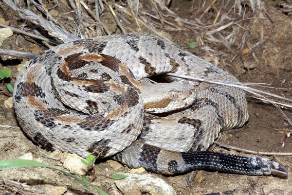 EL Colubroidea Viperidae Crotalinae Crotalus horridus Timber Rattlesnake Wyandotte County