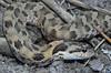 EEF Colubroidea Dipsadidae<br /> Heterodon platirhinos<br /> Eastern Hognose Snake<br /> Hamilton County<br /> 2011 speciman #1