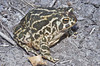 BA Bufonidae<br /> Anaxyrus cognatus<br /> Great Plains Toad<br /> Hamilton County<br /> 2011