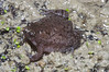 BF Microhylidae Gastrophryninae<br /> Gastrophryne carolinensis <br /> Eastern Narrow-mouthed Toad<br /> Jefferson Parish